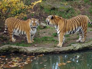 Пара амурских тигров