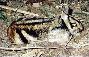 Суматрийский полосатый заяц