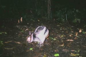 Полосатый заяц