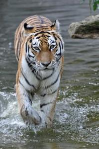 Уссурийский тигр отлично плавает