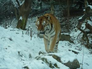 Дальневосточный тигр в зимнем лесу