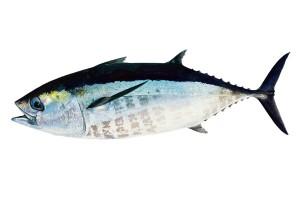Взрослая особь тунца