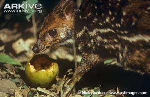 Африканский оленек