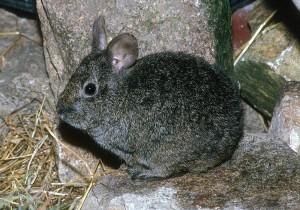 Бесхвостый кролик