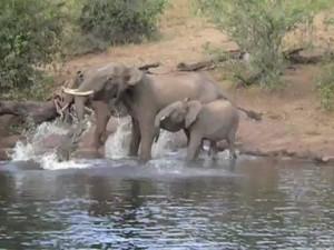 Видео: крокодил вцепился в хобот слона