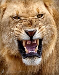 Пасть африканского льва