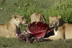 Львы питаются убитой антилопой гну