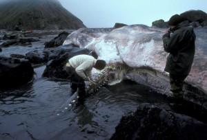 Тело мертвого кашалота, выброшенное на берег