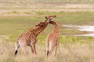Пара жирафов во время брачных игр