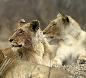Прайл львов на отдыхе