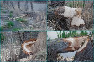 Вот так сгрызает деревья речной бобр