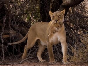 Самка льва переносит львенка в укромное место