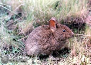 Детеныш вулканического кролика