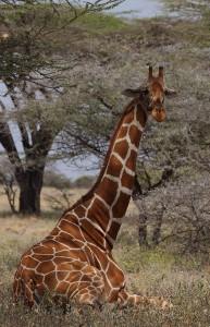 Редкие кадры - жираф лежит