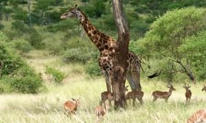 Жираф выглядит великаном среди антилоп
