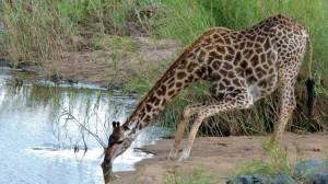 Вот так жираф пьет