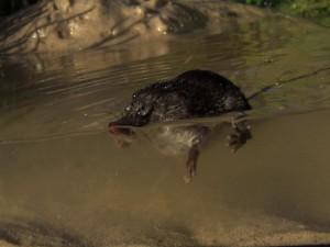 А вот так зверек плавает