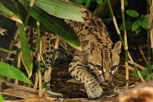 Крадущийся в джунглях оцелот