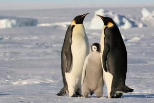 Пара пингвинов с птенцом