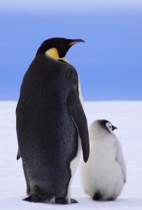 Плотное оперение пингвина