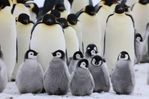 Ясли императорского пингвина