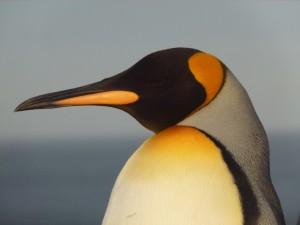 Голова королевского пингвина крупным планом