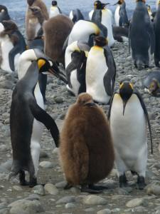 Семья королевских пингвинов