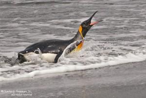 Вода - родная стихия для пингвина
