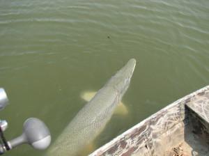 Рыба аллигатор в воде