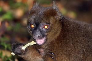 Бамбуковый лемур за едой