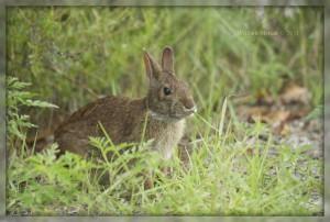 Водяной кролик питается