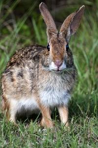 Водяной кролик крупным планом