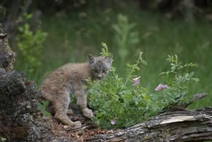 Котенок канадской рыси