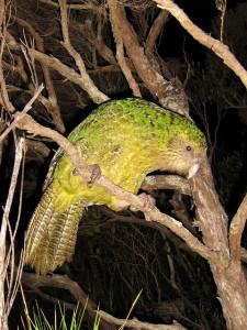 Изредка какапо забирается на деревья