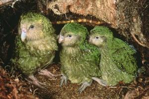 Семейство совиных попугаев