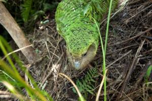 Что-то заметивший в траве попугай