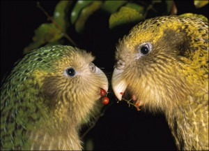 Пара совиных попугаев за едой