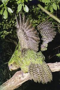 Крылья совиного попугая не могут поднять его в воздух