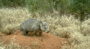 Квинслендский вомбат
