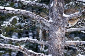 Канадская рысь с добычей зайцем