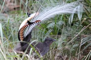Птица-лира на току