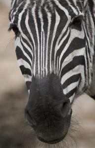 Морда горной зебры
