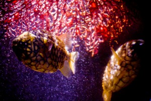 Пара рыб-рыцерей