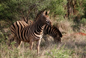 Самец горной зебры