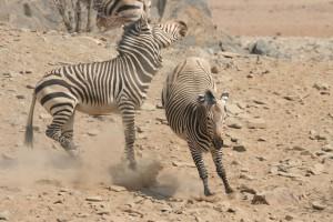 Мощный удар зебры