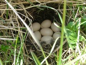 Гнездо чирка-свистунка