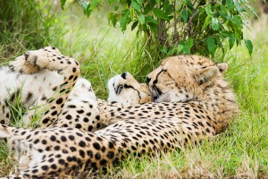 Играющие гепарды