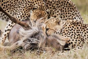 Гепарды завалили антилопу гну