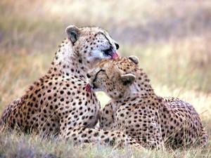 Гепарды за чисткой шерсти