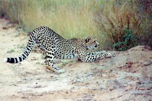 Гепард точит когти